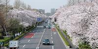 国立市の大学通り沿いの桜