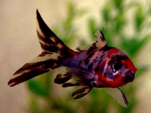 Goldfish carassius auratus for Shubunkin fische