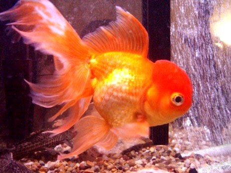 goldfish eggs in aquarium. goldfish eggs in tank.