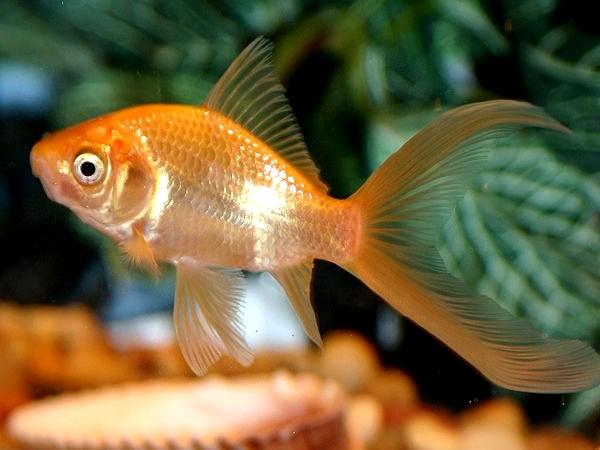 comet goldfish Black And Orange Comet Goldfish