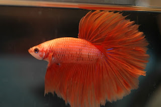 orange betta is an ideal fish for ornamental fish bowl.