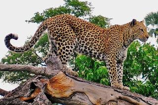 a leopard in Côte d'Ivoire