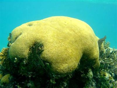 Brain coral (by Dolloyd)