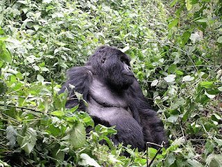 eastern gorilla is found in uganda
