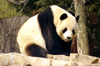 Giant Panda, national animal of China