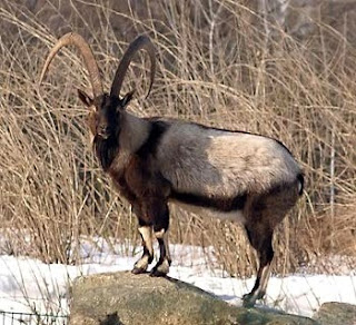 wild goat in Cyprus