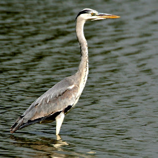 Grey heron in Cyprus