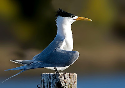 Crested tern found in Tuvalu