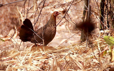 red jungle fowl found in Tuvalu