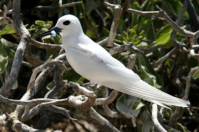 white tern found in Tuvalu