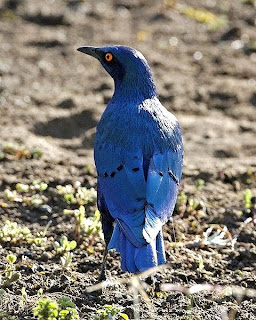 Greater blue eared glossy starling found in Guinea