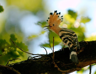 hoopoe found in Guinea