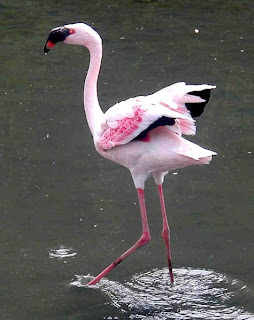 Lesser flamingo found in Guinea