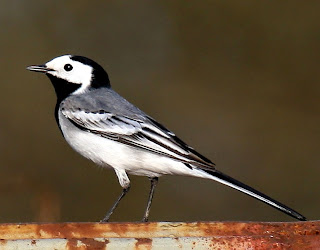 white wag tail found in Guinea