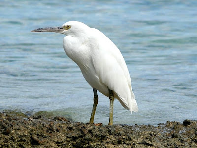 eastern reef egret foun in Fiji