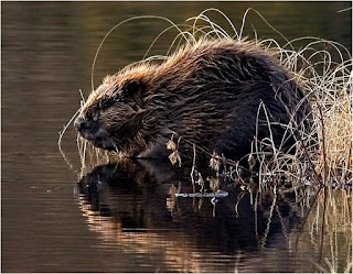 beaver are found in Croatia