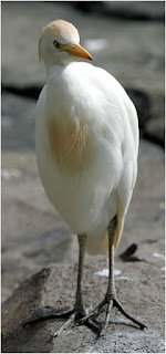 cattle egret found in Croatia