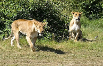 lions found in Zambia