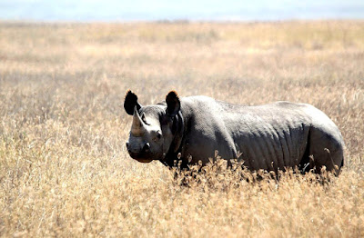 black rhino found in Zambia