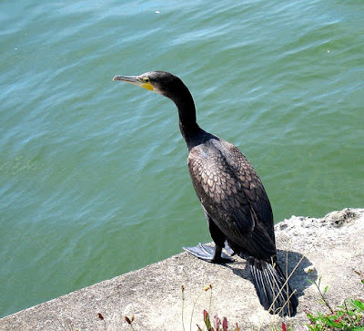 Great cormorant found in Austria