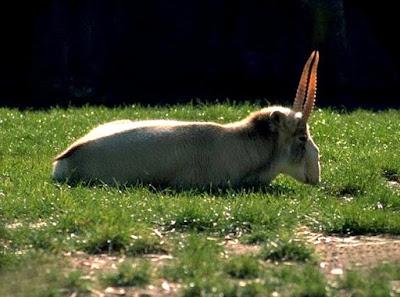Saiga antelope in Turkmenistan
