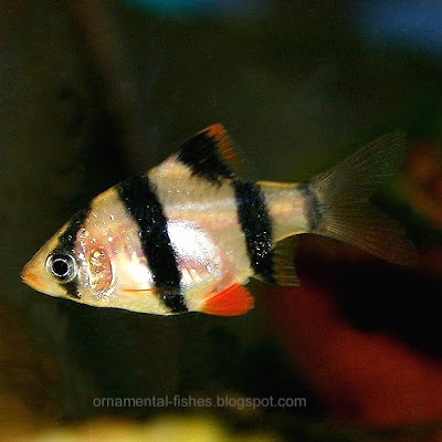 Tiger Barb Fish on Fish   Cyprinids   Carp Family   Cyprinidae   Ornamental Fish