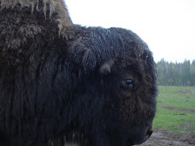 listening to the rain falling with the big bison
