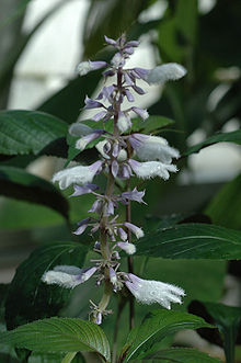 Diviner's Sage in Bloom