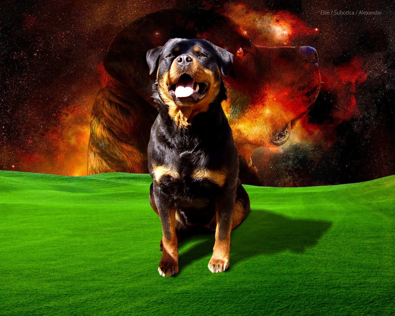 Rock Rottweiler Dog