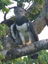 Harpy Eagle, Brazil October 2008