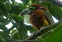 Spot-billed Toucanet, REGUA Aug 2009