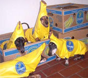group of dogs dressed in banana costumes