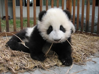 panda bear baby image photo picture