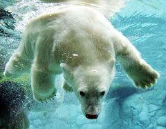 hungry polar