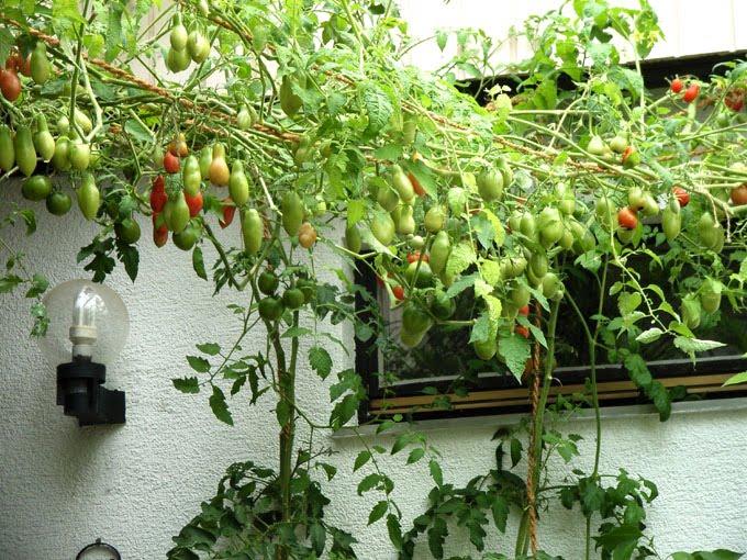 tomaten richtig pflanzen tomaten richtig pflanzen der gro. Black Bedroom Furniture Sets. Home Design Ideas