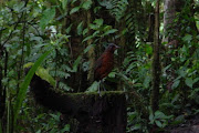 Giant Antpitta at Paz de las Aves (giant antpitta at paz de las aves)