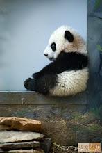 Another Panda Cub
