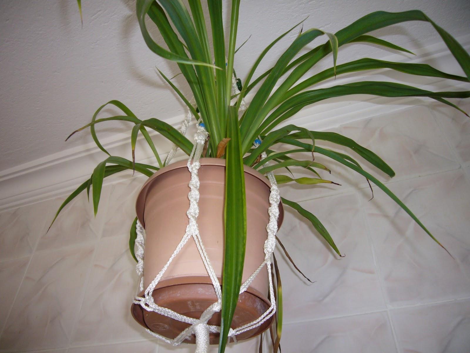 О цветке хлорофитум фото
