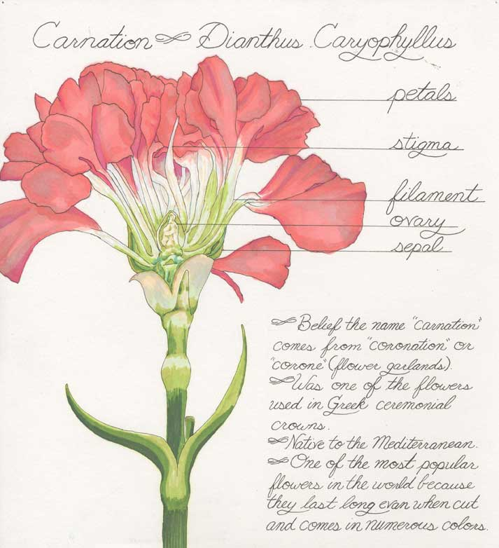 dyed carnations diagram diagram base website carnations diagram ...  diagram base website full edition - objets-voles.fr