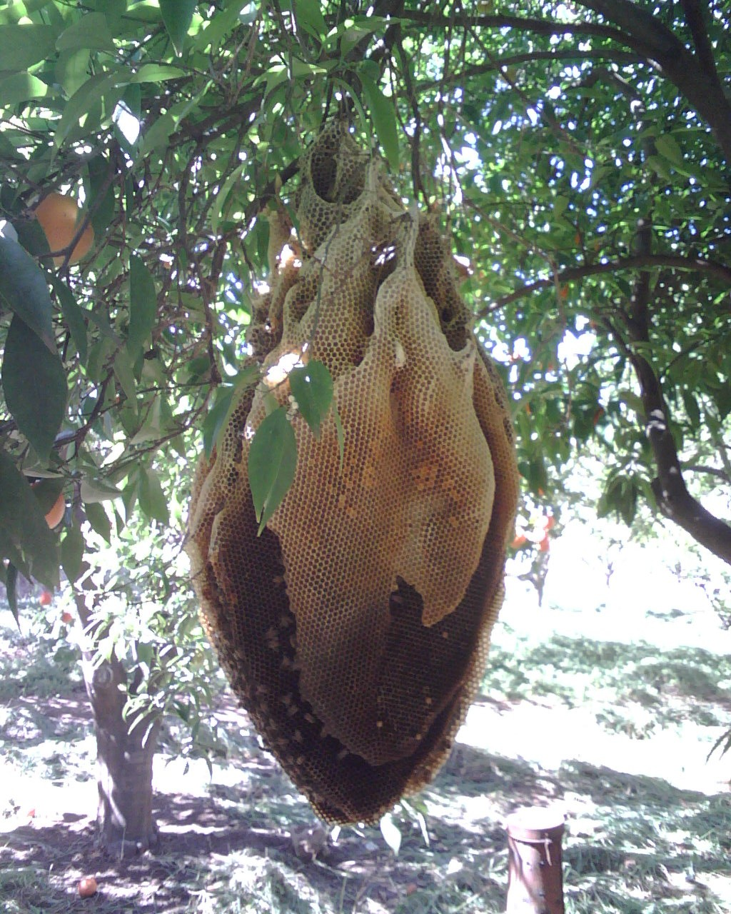 Wild bee hives and look at this wild hive