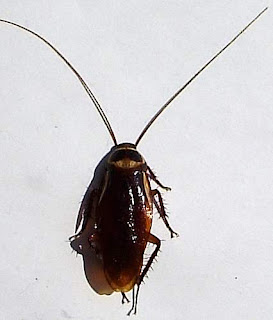 Image of a dead cockroach