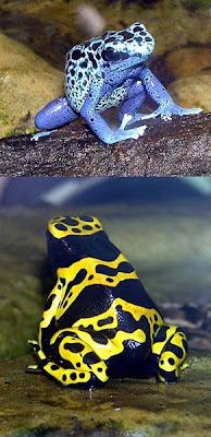 Image of two poisonous dart tree frogs taken at the Bristol Zoo, Bristol, England. They were both photographed by Adrian Pingstone in September 2005 and released to the public domain. They were sourced through the Wikipedia Commons. The top frog is a Blue Poison Dart frog, Dendrobates azureus, while the bottom frog is a Yellow-banded Poison Dart frog, Dendrobates leucomelas.