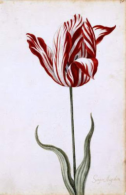 Image of a Semper Augustus bulb. Image taken from The Great Tulip Book is the name of a tulip pamphlet, published c. 1640. It is in the possession of the Norton Simon Art Foundation. They have it indexed in their system as M.1974.08.030.D. This image is from the public domain, sourced via the Wikimedia Commons, and its Norton listing is: Anonymous Dutch Artist, Opaque watercolor on paper, 12-1/8 x 7-7/8 in. (30.8 x 20.0 cm), Norton Simon Art Foundation M.1974.08.030.D