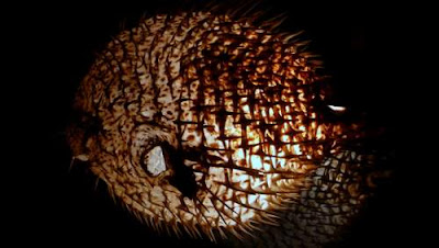 An image of a porcupine fish used as a lantern at your humble scribe's abode, entitled 'Death incarnate. Or his cousin.'.