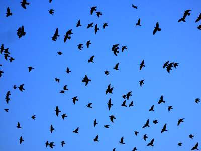 Image of pigeons wheeling, silhouetted, after afternoon prayers, above the Jama Masjid in the old town of New Delhi against an impossibly blue and bright sky.