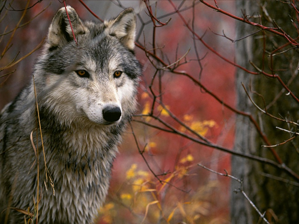 All about animals  Gray Wolf  now our Best Friend