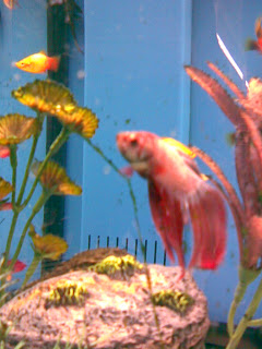 Betta fish betta fish can live with guppies for Can you put betta fish with other fish