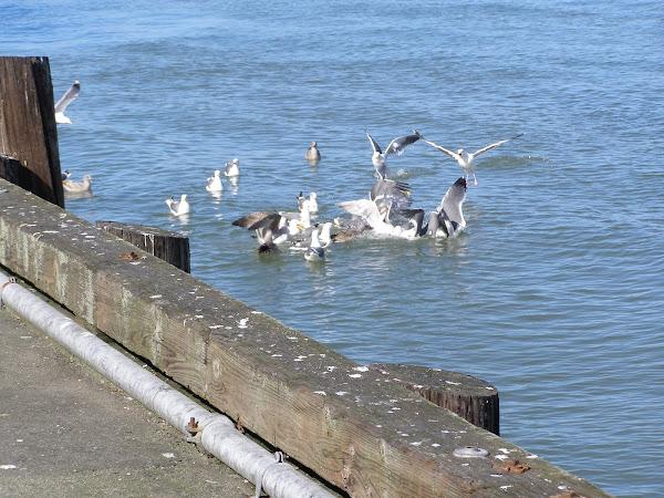 San Franciscan Seagulls