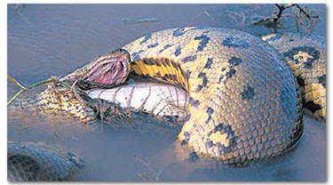 Seekor ular gergasi menyerang seekor buaya sebelum mene