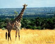 fotitos de animales! (animales jirafa)